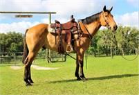 AQHA Registered Dun Ranch Gelding