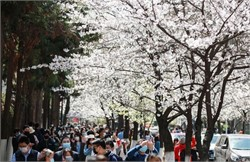 Cherry Blossoms Test Isolation's Limits in Washington